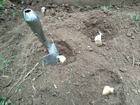 5cmの深さに埋められたニンニク
