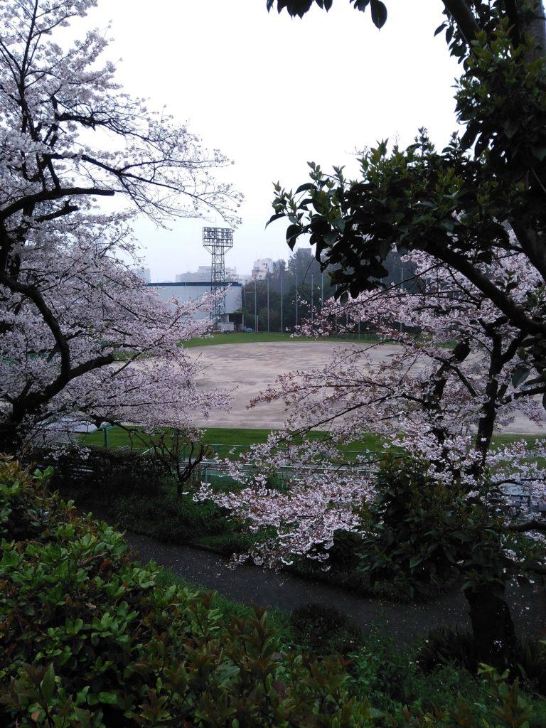 2019春野球場脇の桜
