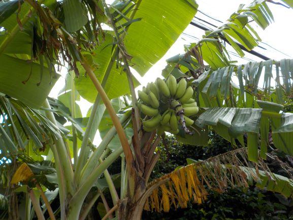 民家で成る島バナナ
